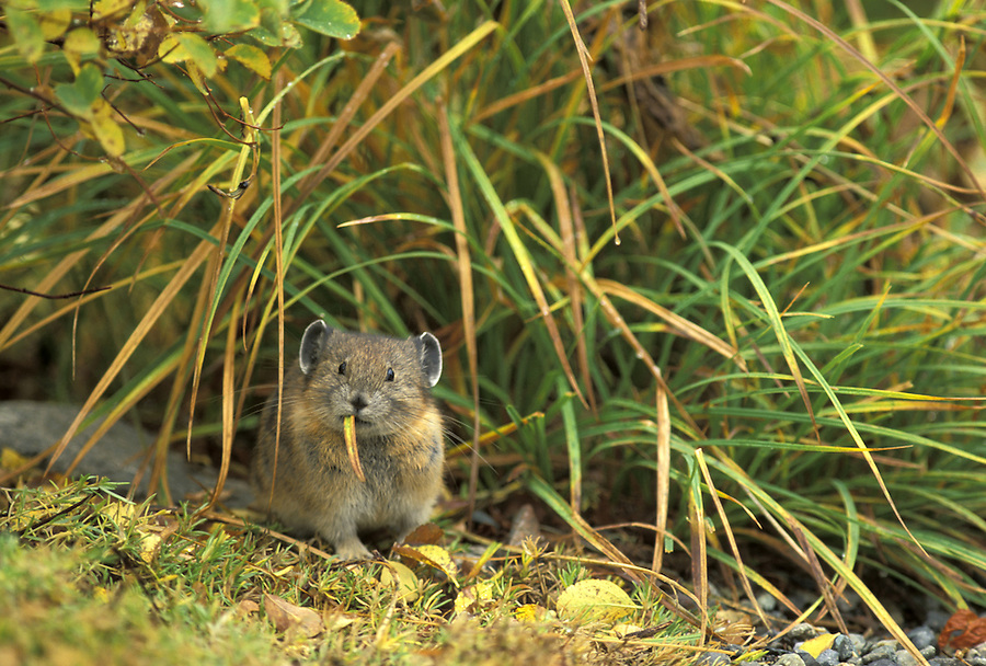 American Pika (Ochotona priceps) eating grass, Edith Creek Basin, Paradise, Mount Rainier National Park, Washington