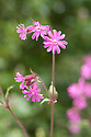 Red campion (Silene dioica), late May.