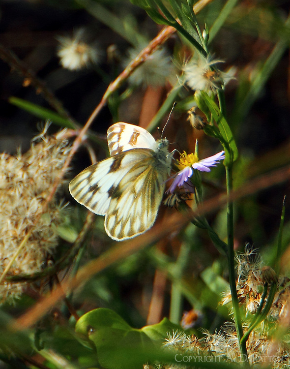 Female checkered white