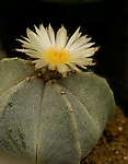 White cactus flower blooming in the spring at the Chihuahuan Desert Nature Center and Botanical Gardens in Texas