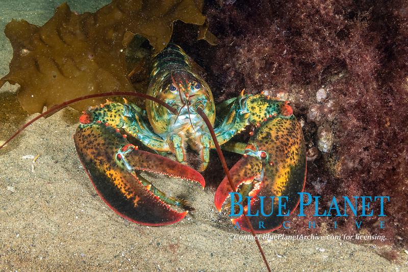 Northern Lobster, Homarus americanus, Rockport, Massachusetts, USA, Atlantic Ocean, Gulf of Maine