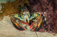 Northern Lobster, Homarus americanus, Rockport, Massachusetts, USA, Atlantic Ocean, Gulf of Maine