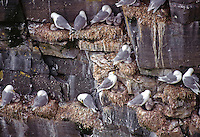 35-B04-KB-034    BLACK-LEGGED KITTIWAKES (Rissa tridactyla), adults with chicks nesting on steep cliffs, Cape St. Mary's, Newfoundland, Canada                 .