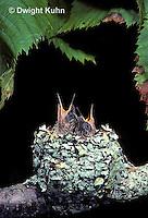 HU01-030z  Ruby-throated Hummingbird - baby birds in nest  -  Archilochus colubris
