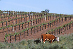 hereford cattle, Sonoma Valley