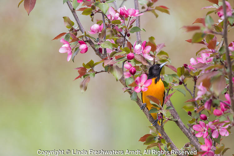 Male Baltimore oriole in northern Wisconsin.