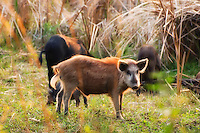 Family of wild boars near the southern shore of Charlotte Harbor, Florida. These wild pigs have really become common in recent years - largely due to a decrease in the panther population.