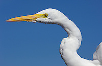 The Great Egret (Ardea alba), also known as the Great White Egret or Common Egret or (now not in use) Great White Heron, Pantanal, Brazil.