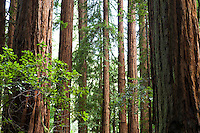 Redwood Trees, Sequoia sempervirens, in Muir Woods old growth forest