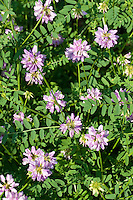 Bunte Kronwicke, Securigera varia, Coronilla varia, Trailing Crown Vetch