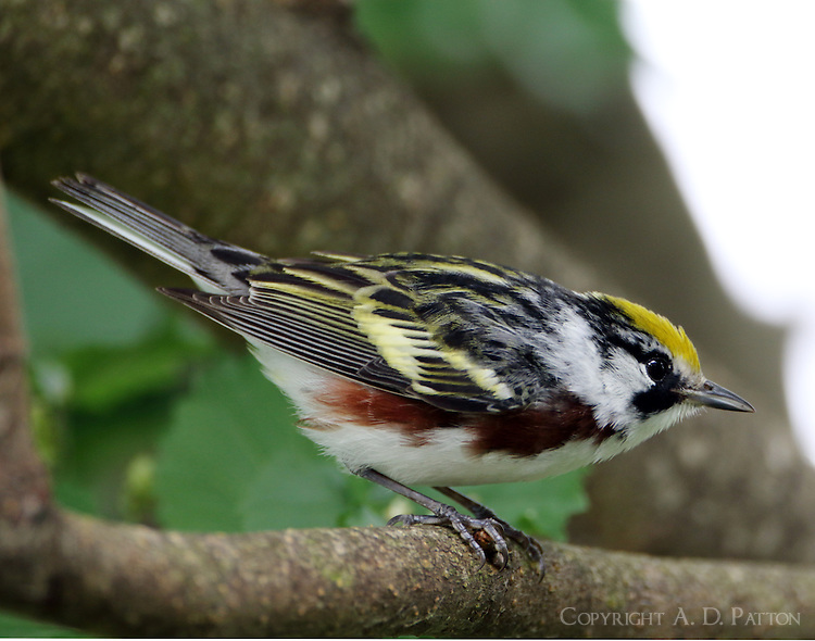 Male chestnut-sided warbler