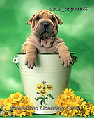 Xavier, ANIMALS, REALISTISCHE TIERE, ANIMALES REALISTICOS, dogs, photos+++++,SPCHDOGS1060,#a#, EVERYDAY