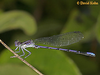 0826-06tt  Eastern Forktail Damselfly - female - Ischnura verticalis - © David Kuhn © David Kuhn/Dwight Kuhn Photography
