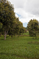 Zanzibar, Tanzania.  Clove Trees.