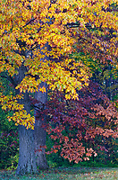 Oak trees turn yellow and crimson red in the fall at the Morton Arboretum, DuPage County, Illlinois