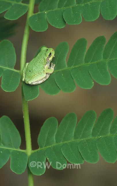 Tree Frog juvenial