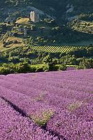 Europe/France/Rhône-Alpes/26/Drôme/Env Roche-Saint-Secret-Beconne: Champ de Lavandin et Tour d'Alençon