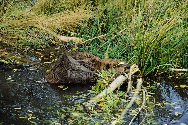 Beaver (Castor canadensis) hauling limb back to winter food cache. Fall. Western US.