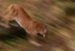 Cougar in motion, Washington
