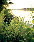 USA, Washington State, green ferns in the forest at dusk, Puget Sound, Totten Inlet, Olympic Peninsula