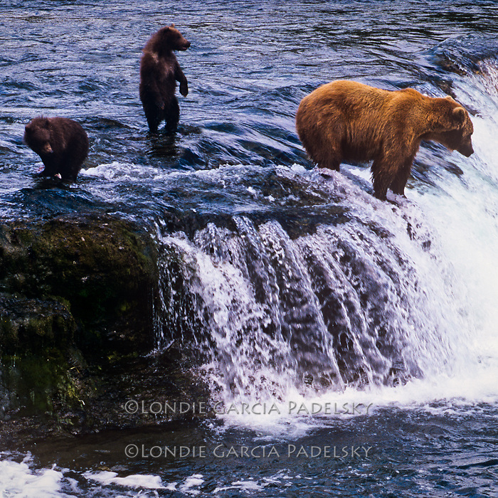 Grizzly catching salmon for cubsd, Katmai National Park and Preserve, Southern Alaska