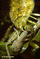 WS10-003x   Giant Waterbug nymph eating spotted salamander larva -  Lethocerus spp.