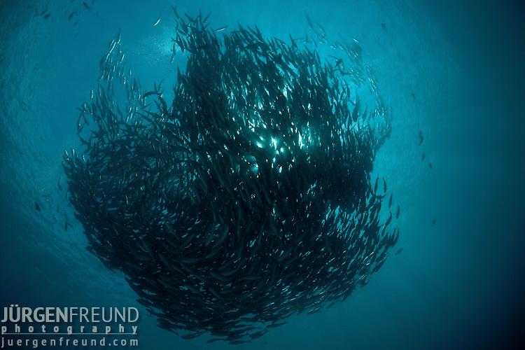 Large schooling bigeye jacks or trevallies at the edge of the reef (Caranx sexfasciatus)