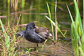 Common Moorhen (Gallinula chloropus), Preening at waters edge. Omnivorous, feeds while swimming or walking on floating vegetation or land, especially damp Meadows. Habitat, Marsh, reedbed, small lakes.