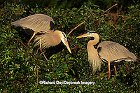 00684-04411 Great Blue Herons (Ardea herodias) Sarasota Co.   FL