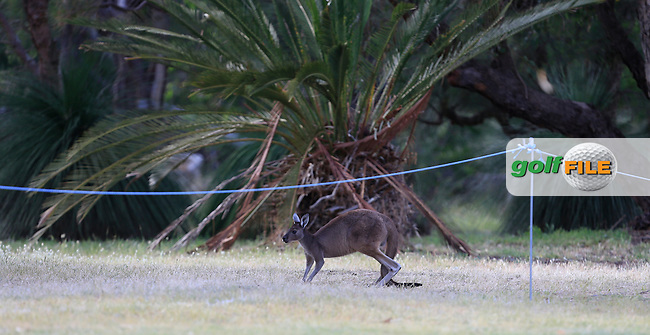Kangaroo crossing the 10th fairway during Round 3 of the ISPS HANDA Perth International at the Lake Karrinyup Country Club on Saturday 25th October 2014.<br /> Picture:  Thos Caffrey / www.golffile.ie