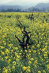 Spring mustard in vineyard