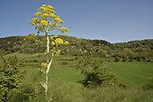 Giant Fennel - Ferula communis