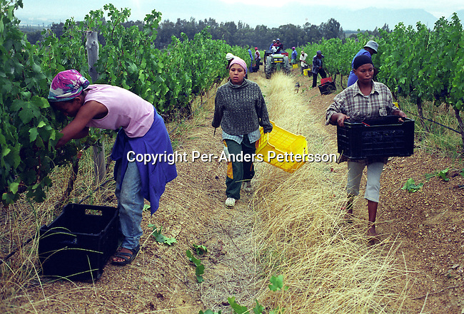 difaarg00169.Industry. Farming Agriculture.  Unidentified women picks grapes during the yearly harvest on February 29, 2004 at Nelson Creek vineyard outside Wellington, about 40 miles from Cape Town, South Africa. South African vine growers have seen a big increase in export sales since the fall of Apartheid and democracy in the country since 1994. Many South African goods were boycotted during the Apartheid era, where many countries imposed sanctions on the South Africa. Wellington. .©Per-Anders Pettersson/iAfrika Photos....
