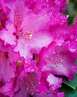 Vashon, WA<br /> Rhododendron 'Kimbeth' , red blossom detail