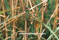 Common Green Darner (Anax junius) female in wetland, Marion Co. IL