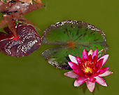 Water lily in pond.