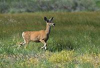 625250018 a wild mule deer odocoileus hemionus in a grassy field in modoc national wildlife refuge california