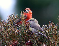 Male and female adult red crossbills. Part of a flock of about 30 birds wintering in Alpine, TX. This series of photos taken on January 15, 2013. The temperature was 23 degrees F and the birds had to break the ice in a puddle to drink.