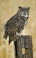 Great-horned Owl perched on an old board