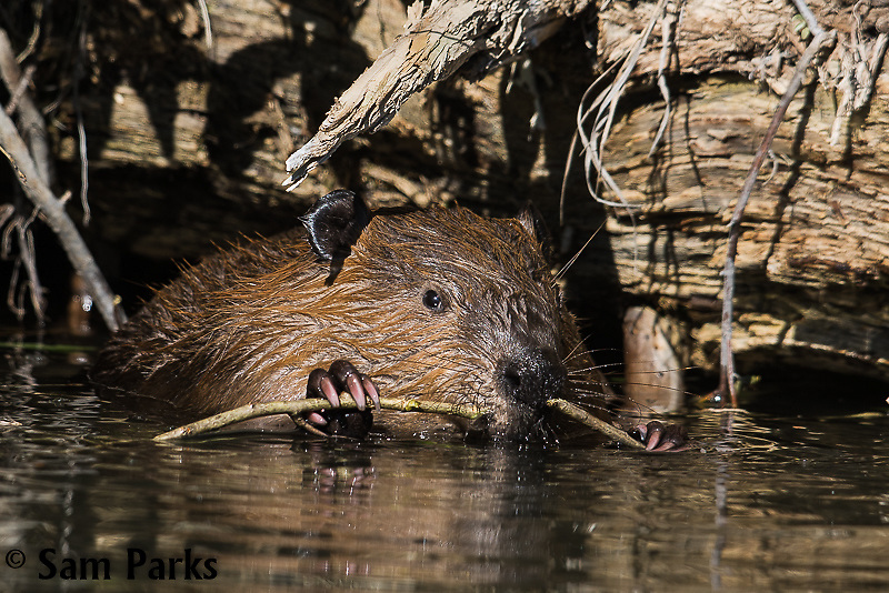 Beaver chewing. Grand Teton National Park, Wyoming.