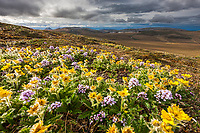 Spring blooming glacier aven flowers on Puvakrat mountain, National Petroleum Reserve, Alaska.