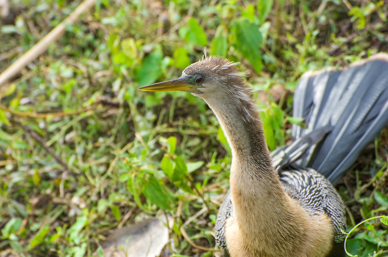 Close-up of an adult female anhinga in the Florida Everglades, near Homestead. There is very clear sexual dimorphisnm in the anhinga: males have a mostly uniform black head and next (besides breeding plumage) while the female had a very pale brown to beige neck and head.