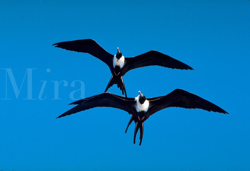 Magnificent Frigate Birds in flight, Cabo San Lucas, Baja, Mexico