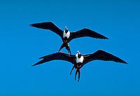 Magnificent Frigate Birds in flight, Cabo San Lucas, Baja, Mexico