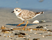 Adult piping plover in non-breeding plumage