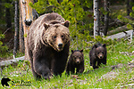 Grizzly bear sow and her two young cubs. Yellowstone National Park, Wyoming.