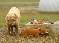 Organic pigs. Sow and litter.