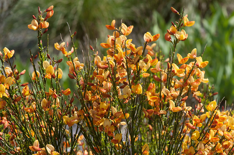 Cytisus 'Apricot Gem', late April. A form of broom with orange-yellow flowers.