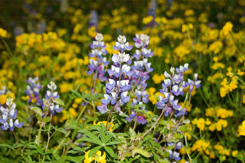 Broadleaf Lupine (Lupinus latifolius) and Birdsfoot Trefoil (Lotus corniculatus), Mt. St. Helens National Volcanic Monument, Washington, US