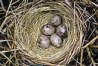 Rohrammer, Ei, Eier, Gelege im Nest, Rohr-Ammer, Emberiza schoeniclus, reed bunting